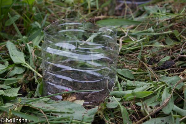 畑のダンゴムシ対策には、ペットボトルの輪切りを被せる