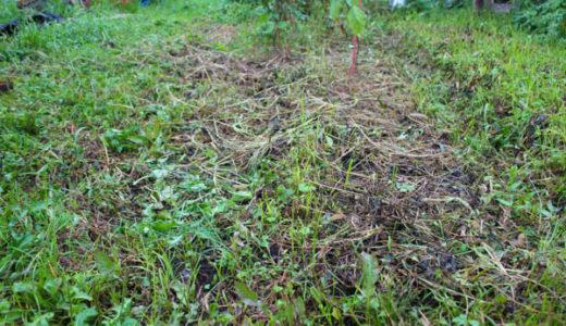 コマツナ、チンゲンサイのばら蒔き栽培