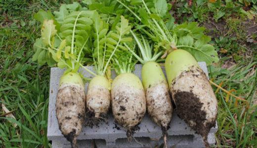 トウだちしてきた大根を収穫、牛筋大根とイカ大根を作る