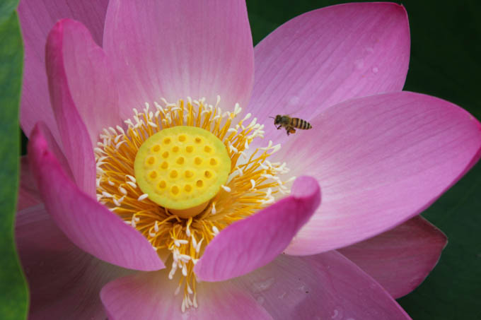 鴨川市 古代大賀蓮(ハス)の里 綺麗な花を愛で、高貴な香りを楽しんで