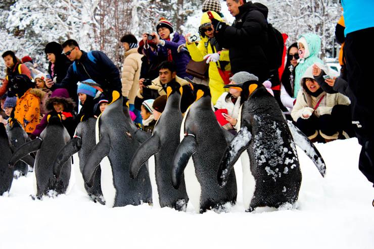 旭山動物園キングペンギン