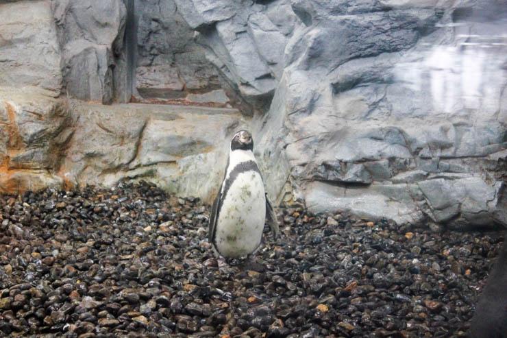 旭山動物園フンボルトペンギン