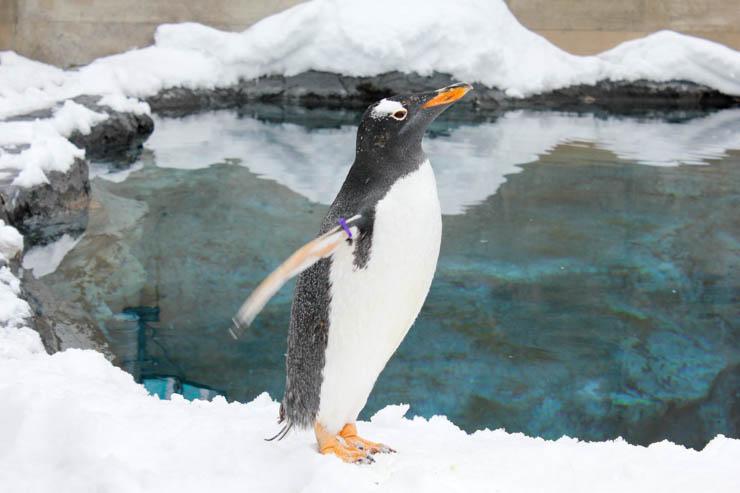 旭山動物園ジェンツーペンギン
