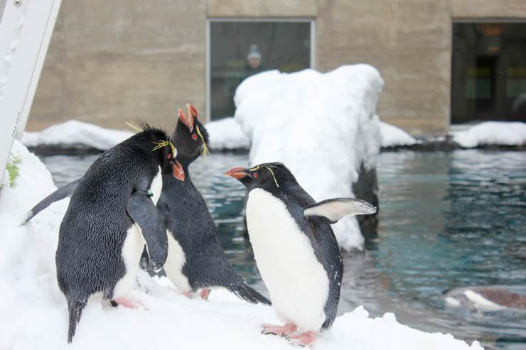 旭山動物園イワトビペンギン