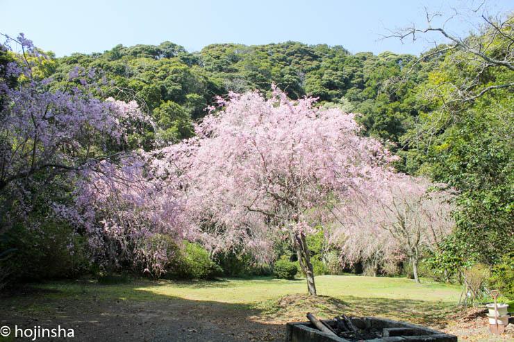 【鴨川市江見】桜の名所 健生園と古泉院